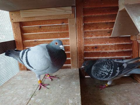 ハトを飼ってみよう!-ブリード(繁殖)からレースまで、新しいペットの楽しみ方ー  第2章 鳩を飼う前に その1(鳩舎作り)