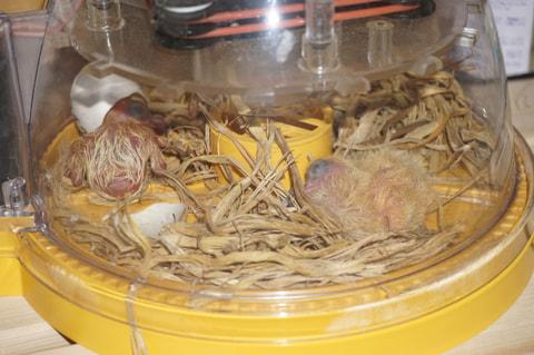 家禽の人工孵化器をレース鳩に応用
