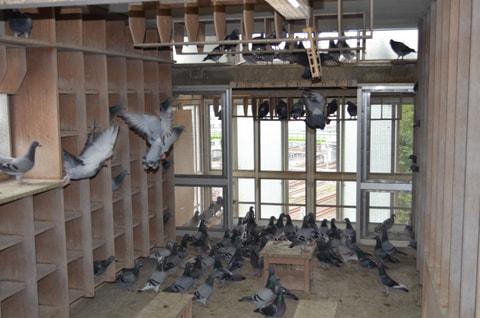 ハトを飼ってみよう!-ブリード(繁殖)からレースまで、新しいペットの楽しみ方ー  第4章 鳩の購入