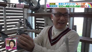 福岡県の地方番組が、鳩飼育を取材!